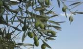 Oliwa z oliwek, smak południowego szczęścia